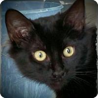Adopt A Pet :: Oriana - Pueblo West, CO