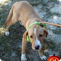 Adopt A Pet :: Stella - Kimberton, PA