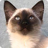 Siamese Kitten for adoption in La Jolla, California - Piper