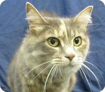 Domestic Mediumhair Cat for adoption in Lloydminster, Alberta - Ivy