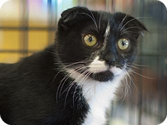 Scottish Fold Cat for adoption in Great Falls, Montana - Sparkle