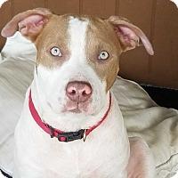American Staffordshire Terrier/Labrador Retriever Mix Puppy for adoption in Seattle, Washington - BONNIE