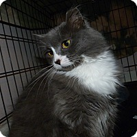 Maine Coon Cat for adoption in Stafford, Virginia - Prissy