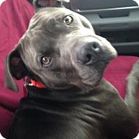 Adopt A Pet :: Zeus - Baltimore, MD