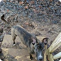Adopt A Pet :: Rudolph - Plainfield, CT