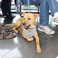 Adopt A Pet :: Bridgette - joliet, IL