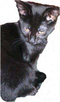 Domestic Shorthair Cat for adoption in New Market, Maryland - Salem