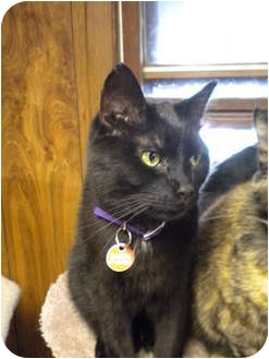 Domestic Shorthair Cat for adoption in Cleveland, Ohio - Dakota