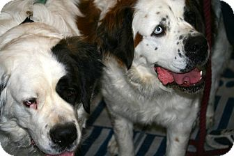 St. Bernard Dog for adoption in Glendale, Arizona - Cheyenne & Gretchen