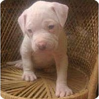 Adopt A Pet :: Staffordshire pup 1 - Alliance, NE