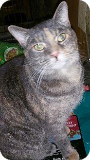 Domestic Shorthair Cat for adoption in Morganton, North Carolina - Ashlyn