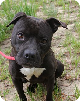 American Pit Bull Terrier Mix Dog for adoption in Macon, Georgia - Luxi