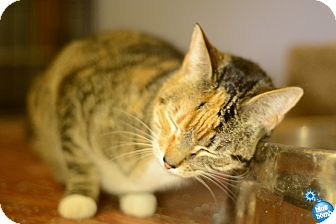 Calico Cat for adoption in Baltimore, Maryland - Flora