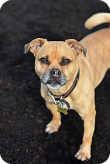 Pug/Jack Russell Terrier Mix Dog for adoption in Dillsburg, Pennsylvania - Buster