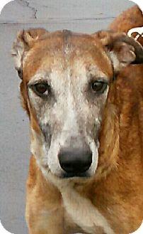 Borzoi/Greyhound Mix Dog for adoption in Lansing, Michigan - Dot