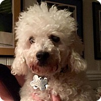 Poodle (Miniature) Mix Dog for adoption in Alpharetta, Georgia - Dewie