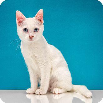 Domestic Shorthair Kitten for adoption in Chandler, Arizona - Luna