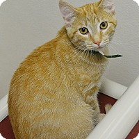 Domestic Shorthair Kitten for adoption in Springfield, Illinois - Dash