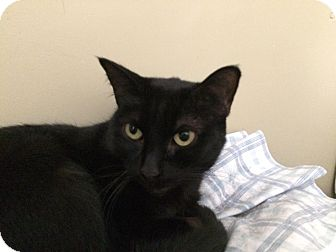 Domestic Shorthair Cat for adoption in Arlington/Ft Worth, Texas - Egypt