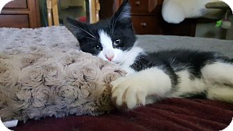 Domestic Mediumhair Kitten for adoption in Pottstown, Pennsylvania - Fester