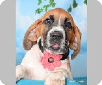 Labrador Retriever/Coonhound Mix Puppy for adoption in Pittsboro, North Carolina - Bristol
