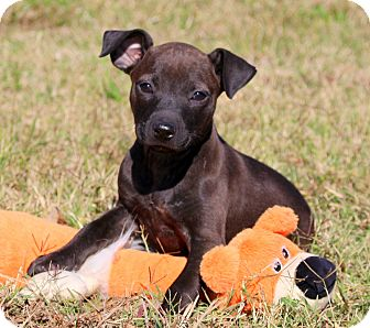 Labrador Retriever/American Pit Bull Terrier Mix Puppy for adoption in Glastonbury, Connecticut - Zola~adopted~