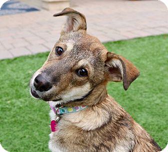 Jindo Mix Puppy for adoption in Litchfield Park, Arizona - Taffy