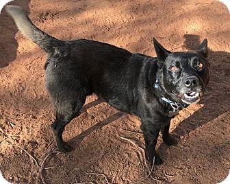 Schipperke/Labrador Retriever Mix Dog for adoption in Valley Village, California - TAFT