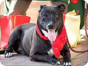 American Pit Bull Terrier/Labrador Retriever Mix Dog for adoption in Phoenix, Arizona - Darby