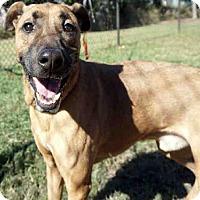 Adopt A Pet :: SCOOBY - Jacksonville, FL