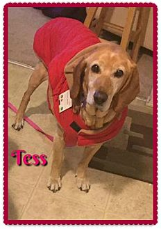 Labrador Retriever/Hound (Unknown Type) Mix Dog for adoption in Elburn, Illinois - Tess
