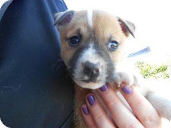 German Shepherd Dog Mix Puppy for adoption in Atascadero, California - Jason