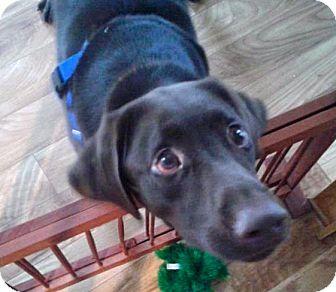 Labrador Retriever Dog for adoption in Minnetonka, Minnesota - Buna Bear
