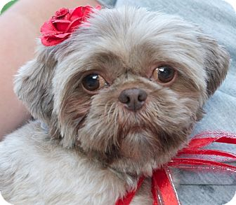 Shih Tzu Dog for adoption in Eden Prairie, Minnesota - Redd Ruffles