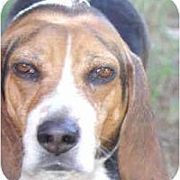 Adopt A Pet :: Ringo #1 - Portland, OR