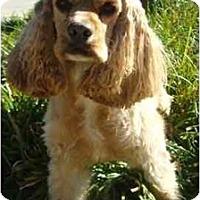 Adopt A Pet :: Cameron - Sugarland, TX