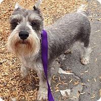 Adopt A Pet :: Lucy - Redondo Beach, CA