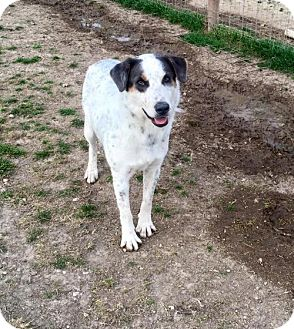 Australian Cattle Dog/Great Pyrenees Mix Dog for adoption in Clifton, Texas - Zelda