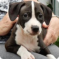 Adopt A Pet :: Pepper - Long Beach, NY