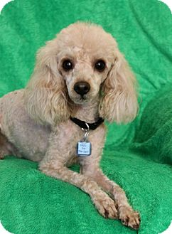 Poodle (Toy or Tea Cup) Mix Dog for adoption in Wichita, Kansas - Maxwell