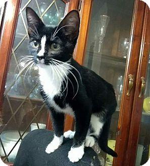 American Shorthair Cat for adoption in Texarkana, Arkansas - Tammy