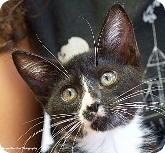 Domestic Shorthair Kitten for adoption in Chattanooga, Tennessee - Socks