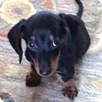 Dachshund Puppy for adoption in Houston, Texas - Remy Recruit