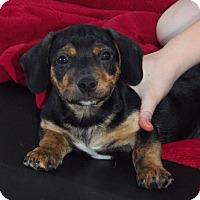 Adopt A Pet :: Doc - Owatonna, MN