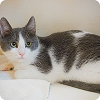 Domestic Shorthair Kitten for adoption in Los Angeles, California - Rhino