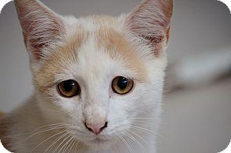 Domestic Shorthair Kitten for adoption in Washington, Georgia - Cotton Ball