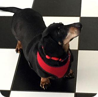 Dachshund Dog for adoption in Orangeburg, South Carolina - Pretty Boy