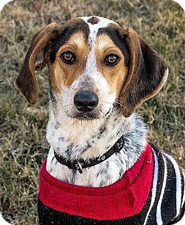 Beagle Mix Puppy for adoption in Fairfax, Virginia - Dixie