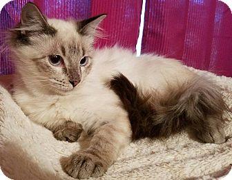 Ragdoll Kitten for adoption in Ennis, Texas - Merek