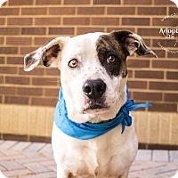 Adopt A Pet :: Junior - Mooresville, NC